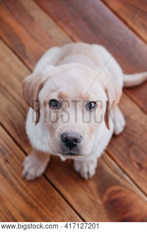 Top View Portrait Of Beige Puppy Labrador Retriever. The Dog Is Sitting And Looking At The Camera. V