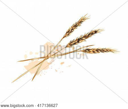 Ears Of Wheat From A Splash Of Watercolor, Colored Drawing, Realistic. Vector Illustration Of Paints