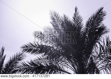 Tropical Tourism Paradise Palms In Sunny Summer Sun Purple Sky. Sun Light Shines Through Leaves Of P