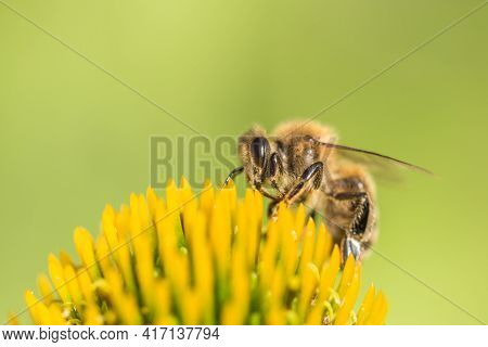 Beautiful Honey Bee Closeup On Flower Gather Nectar And Pollen. Animal Sitting For Pollination. Impo