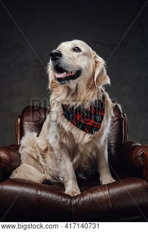 Pedigreed Golden Retriever Relaxing On A Armchair In Dark Background
