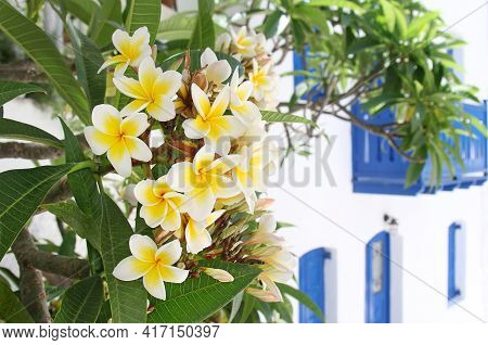 Plumeria Blooms In Summer On A Greek Island. Beautiful Plant On The Background Of A House In The Gre