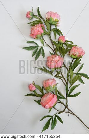 Closeup Beautiful Pink Peony Flowers On White Background