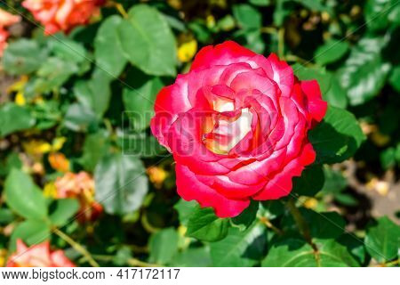 Rose Flower Of The Double Delight Variety, Close-up, Isolated On Green Foliage Background, Outdoors.
