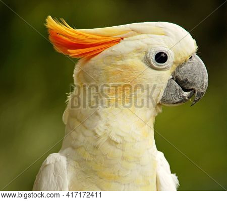 A Closeup Shot Of A Cute Sulphur-crested Cockatoo On Blurred Background