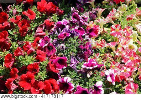 Petunia Petunia Is A Genus Of Herbaceous, Semi-shrub Perennial Plants Of The Solanaceae Family 3