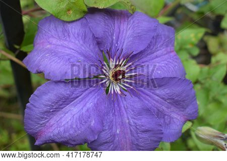 A Purple Clematis Flower, Clematis Viticella, Blooms In A Japanese Garden. Flower Of Clematis - Ranu