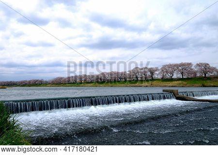 Focus The Dam Across River With Waving And Splash Water ,beautiful Sakura Cherry Blossoms Trees Surr