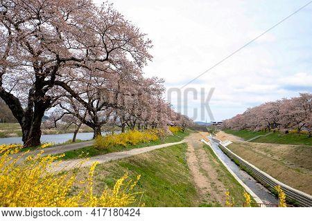 Beautiful Sakura Cherry Blossoms Trees Along River Of Shiroishi River, Nice Place For Sightseeing Ri