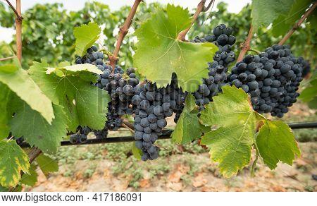 Vineyards Of Carignano And Cannonau Wine, Santadi, South Sardinia