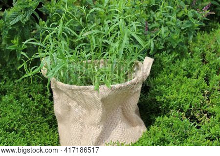 Tarragon In A Jute Bag In The Garden