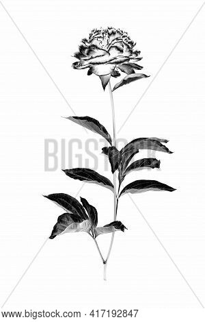 Peony Flower With Branch And Leaves Isolated On A White Background. Image Digitally Modified With So