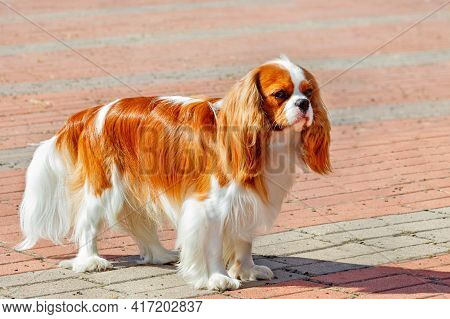 A Cavalier King Charles Spaniel Looks Straight Ahead And Stands Against A Backdrop Of Red Cobbleston