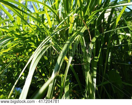 Long Grass Meadow Closeup With Bright Sunlight