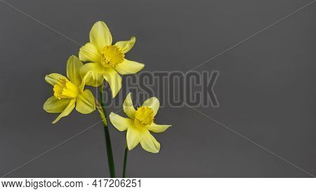Narcissus - Three Flowers Yellow Daffodil Spring Flower Daffodil, Close-up Isolated On Gray Backgrou