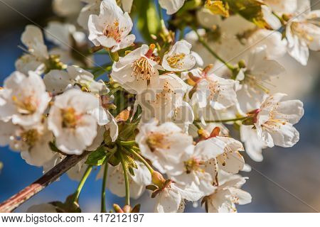 Apple Blossom In Spring. White Blossom On A Branch Of A Fruit Tree. Branch With White Opened Flowers