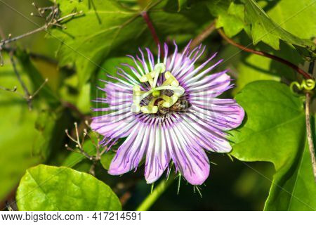 Pollen Falls On Bee While In A Passionflower.