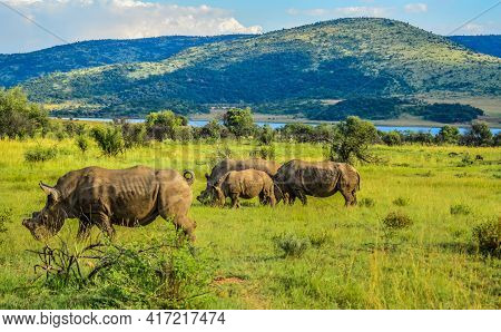 De Horned White Rhinoceros In It's Natural Surrounding And Landscape In South Africa