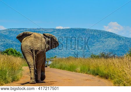 Chasing An Africal Musth Elephant In Pilanesberg National Park Under Blue Sky