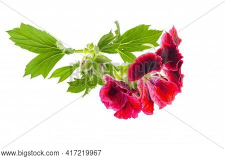 Small Twig With Pink Pellargonium Flower With Green Leaves Isolated On White Background