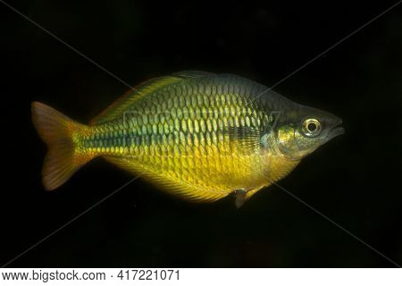 The Lake Tebera Rainbowfish (melanotaenia Herbertaxelrodi) Is A Species Of Fish In The Melanotaeniid
