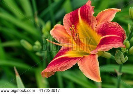 Red-yellow Flower Daylily (latin: Hemerocallis) Close Up. Daylily On Green Leaves Background. Soft S
