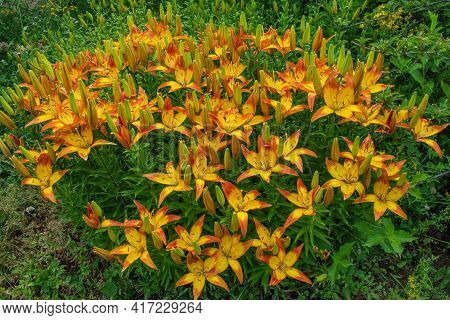 Yellow-red Daylilies (latin: Hemerocallis) On Green Leaves Background In Summer. Flower Beds With Fl