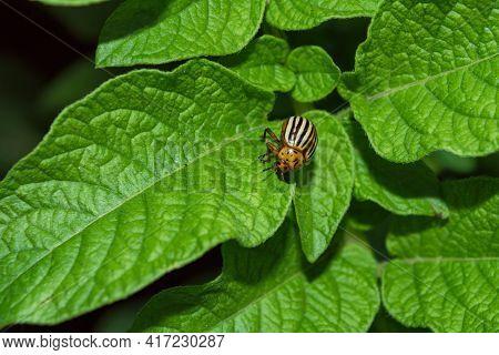 Pests Of Agricultural Plants. Colorado Potato Beetle (latin: Leptinotarsa Decemlineata) On Potato Le
