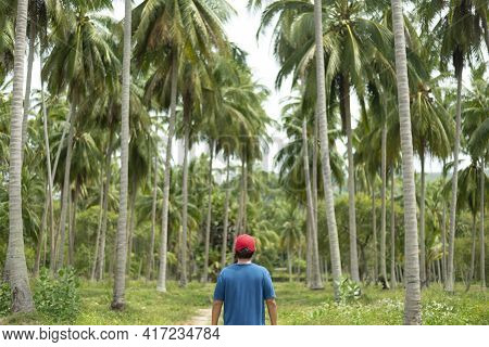 A Man Tourist Is Sightseeing Palm Coconut Trees Farm In Koh Samui Island In Thailand.