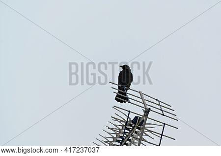 Jackdaw Sitting On Antenna A Grey Day