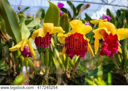 Orchid Flower In Orchid Garden At Winter Or Spring Day. Cattleya Orchidaceae.