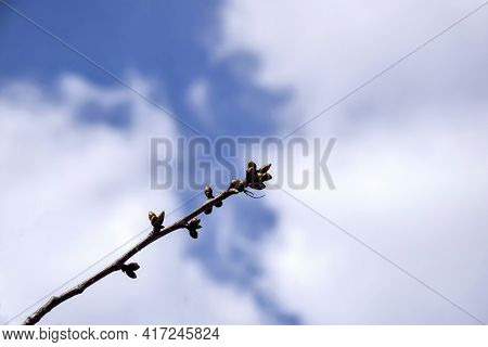 One Cherry Branch With Swollen Buds Against Cloudy Sky. Fruit Trees In Orchard  In Early Spring. Beg