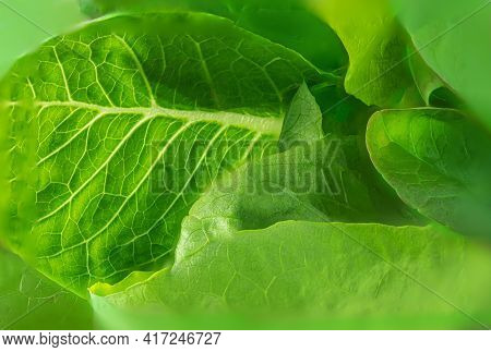 Fresh Green Romaine Lettuce Leaves As A Textured Background. Lettuce Salat Pattern. Close-up