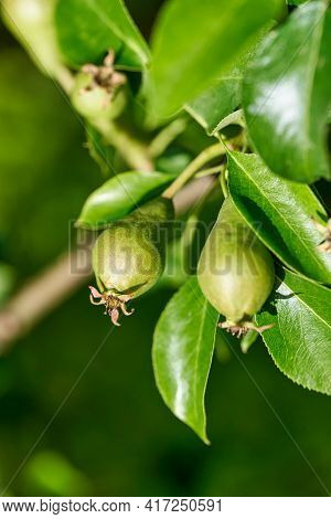Ripening Of Young Pear Fruits On The Branches Of A Pear Tree