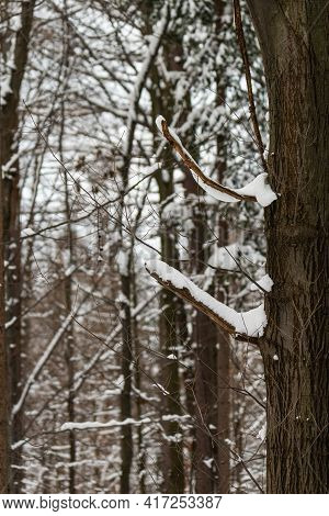 Trees Covered By Fresh Snow In Winter, Beskid, Poland