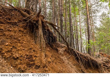 The Roots Of The Trees Stick Out Of The Ground. The Collapse Of The Earth In The Forest. Naked Roots