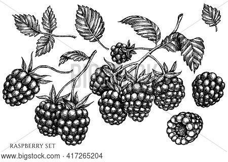 Vector Set Of Hand Drawn Black And White Raspberry Stock Illustration