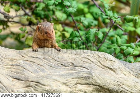 Dwarf Mongoose In Captivity At The Sables Zoo In Sables D'olonne.