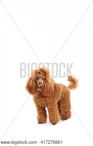 Groomed beautiful red poodle dog with a pink bow isolated on white background