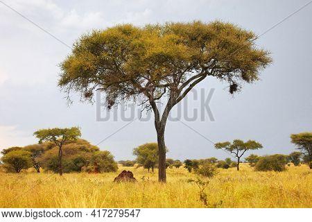 Umbrella Acacia Trees In An African Savanna