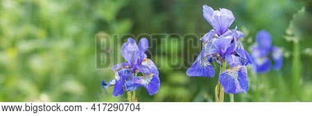 Blue Iris Flowers In The Garden.landscape With Irises Against Blurred Nature. Flower Fields In Sprin