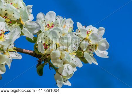 Branch With Many Apple Blossoms In Spring Against Blue Sky. Blossom From The Fruit Tree In The Sunsh