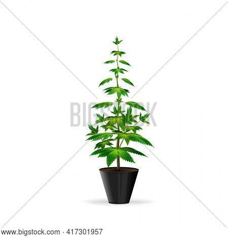 Cannabis Plant At The Growing Stage Grows In A Black Pot. Green Marijuana Bush Isolated On White Bac