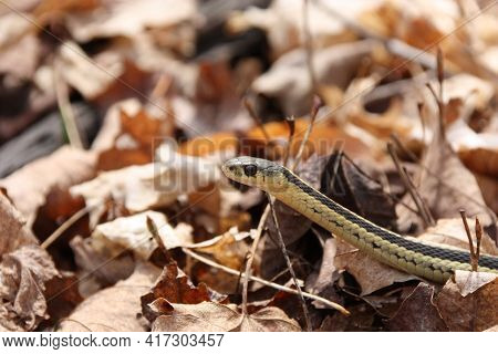 Mother Garter Snake In Patch Of Leaves