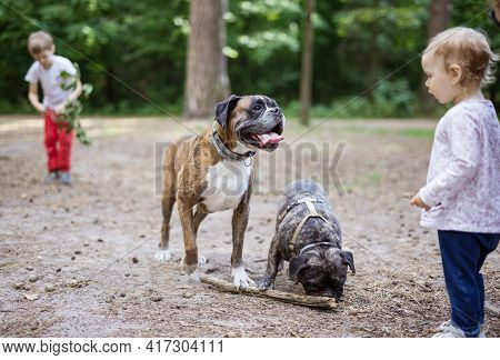 Adorable Toddler Girl Playing With Family Dogs Outdoors. Boxer Dog And French Bulldog Fetching Stick