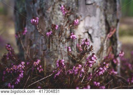 Purple Heather Flowers, Erica Carnea, In Front Of Sunlit Tree Trunk, Austria