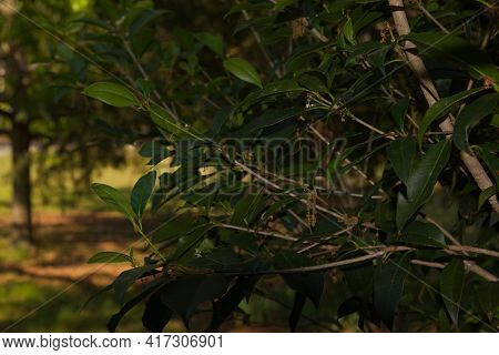 Leaves On A Tree And A Summer Green Foliage Blurred Background