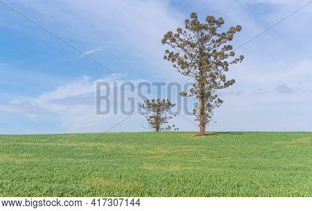 Auaucária Angustifolia Tree In Pasture And Agricultural Production Fields.