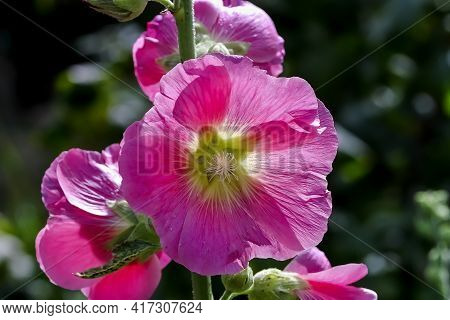 Flower Of The Hollyhock - Alcea Rosea - In The Summer, Bavaria, Germany