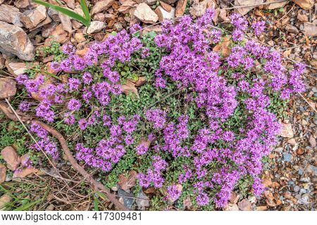 Beautiful Floral Background With A Pattern Of Pink Flowers Of Wild Thyme (thymus Lamiaceae) Close-up